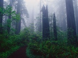 Trail Through Foggy Redwood Forest