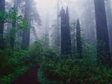 Trail Through Foggy Redwood Forest