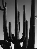 Saguaro