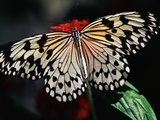 Butterfly with Wings Outstretched