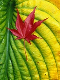 Japanese Maple Leaf on a Hosta Leaf