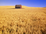 Old Barn in Wheat Field  Eastern Washington