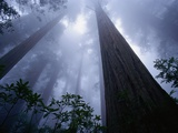 Redwoods and Fog