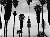Palm Trees in Silhouette  California  1958