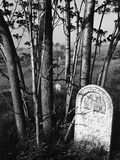 Trees and Gravestone by Brett Weston