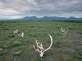 Caribou Skulls Left by Hunters