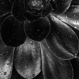 Droplets on a Succulent Plant