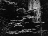 Redwood Tree  California  1964