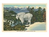 Rocky Mountain Goat  Glacier Park  Montana