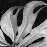Leaf  Hilo  1979