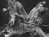 Driftwood Stump by Brett Weston