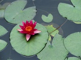 Blooming Water Lily at Heian Shrine