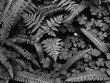 Ferns and Clover
