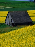 Barn in Rape Seed Field