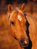 Diamond Marking Horse&#39;s Forehead