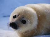 Bébé phoque du Groenland Papier Photo par John Conrad