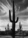 Saguaros  Arizona