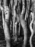 Trees  1972