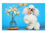 Poodle with Orchids  Retro