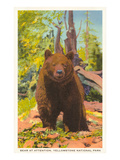 Bear  Yellowstone Park  Montana