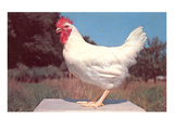 Leghorn Rooster