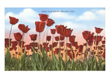 Tulip Fields  Holland  Michigan