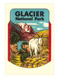 Glacier National Park  Rocky Mountain Goat  Montana
