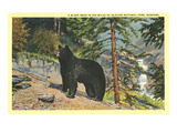 Black Bear  Glacier Park  Montana