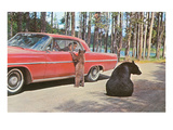 Bears Begging at Car