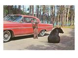 Bears Begging at Car