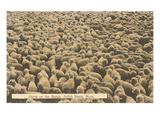 Sheep on Range  Judith Basin  Montana