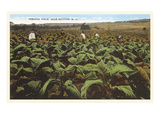 Tobacco Field  Raleigh  North Carolina