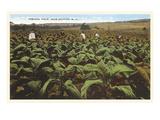 Tobacco Field  Raleigh  North Carolina