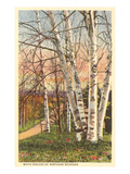 White Birches of Northern Michigan