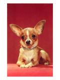 Chihuahua  Retro