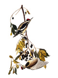 Audubon: Sapsucker  1827-38