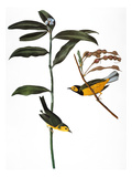 Audubon: Warbler  1827