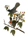 Audubon: Catbird  1827-38