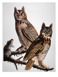 Audubon: Owl