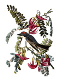 Audubon: Kingbird  1827-38
