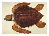 Loggerhead Turtle  1585