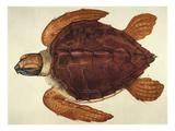 Loggerhead Turtle  1585