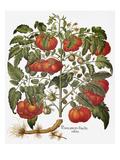 Tomato  1613