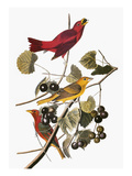 Audubon: Tanager