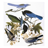 Audubon: Jay And Magpie