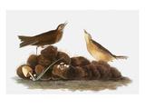 Audubon: Water Pipit  1827