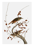 Audubon: Thrush