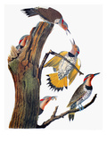 Audubon: Flicker