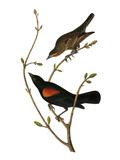 Audubon: Blackbird