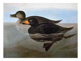 Audubon: Duck  1827